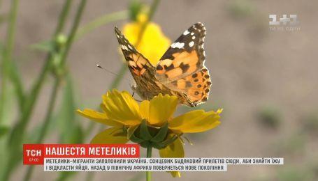 В Украине наблюдается нашествие бабочек-мигрантов