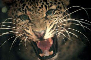 У національному парку в ПАР леопард вбив дворічну дитину