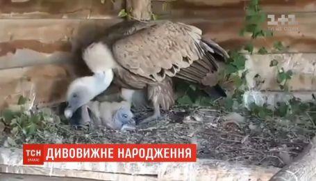 Редкий птенец белоголового сипа родился в бердянском сафари-парке