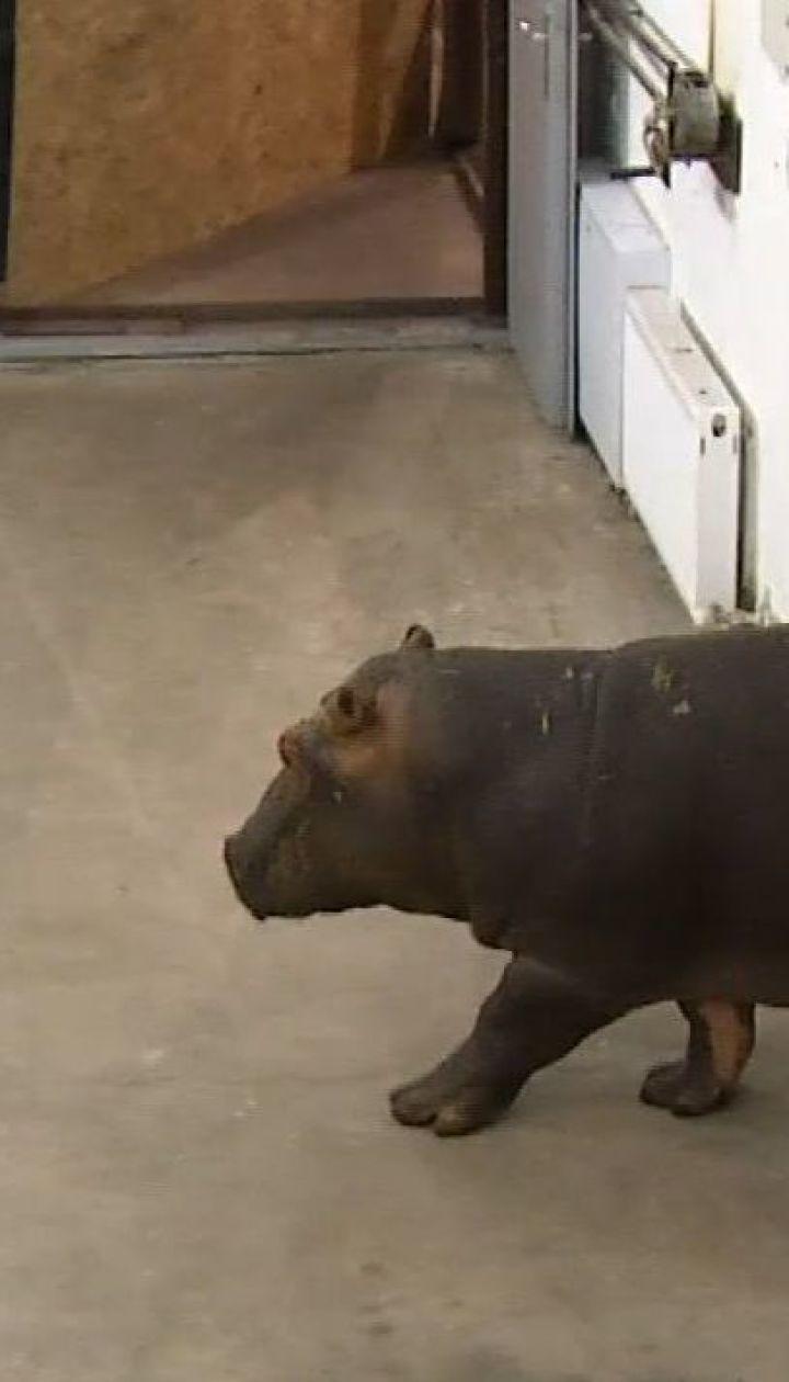 У зоопарку на Київщині поповнення - з Франції привезли бегемота на ім'я Хіполіт