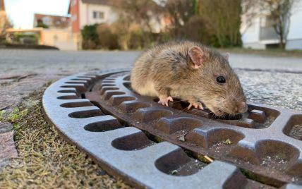 Великобритания страдает от нашествия огромных крыс: лезут в дома людей через туалеты