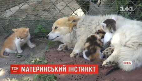 Дочки-матери: в селе на Волыни собака усыновила трех котят