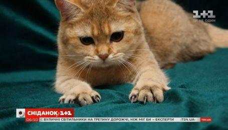 Чи варто робити котикам операцію з видалення пазурів