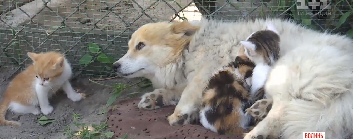 """На Волыни собака """"усыновила"""" трех чужих котят"""