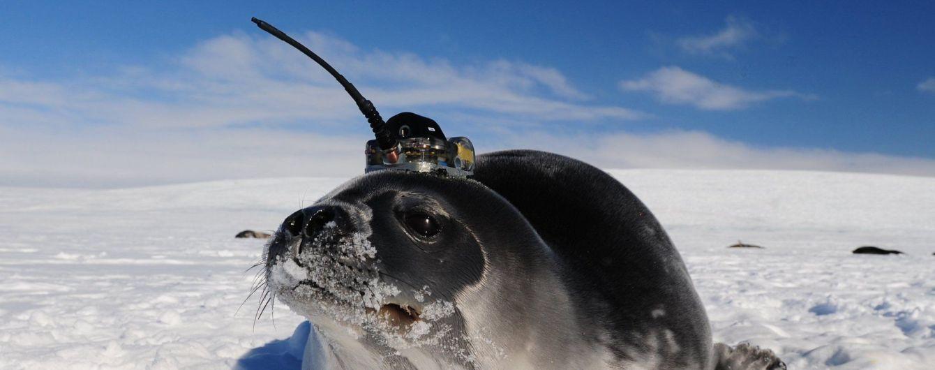 Во льде Антарктики загадочно появлялись гигантские дыры. Тайну раскрыли благодаря морским котикам с антеннами на головах