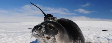 У кризі Антарктики загадково з'являлись гігантські діри. Таємницю розкрили завдяки морським котикам з антенами на головах