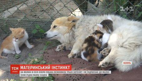 В селе на Волыни кошка Мурка и собака Белка не могут поделить трех котят