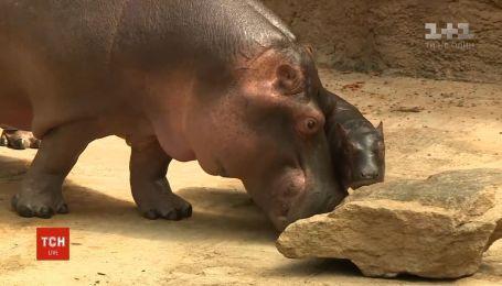 Зоопарк немецкого Кельна выбирает имя для маленького гиппопотама