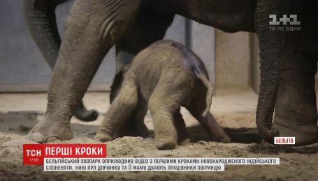 Бельгийский зоопарк обнародовал видео с первыми шагами новорожденного слоненка