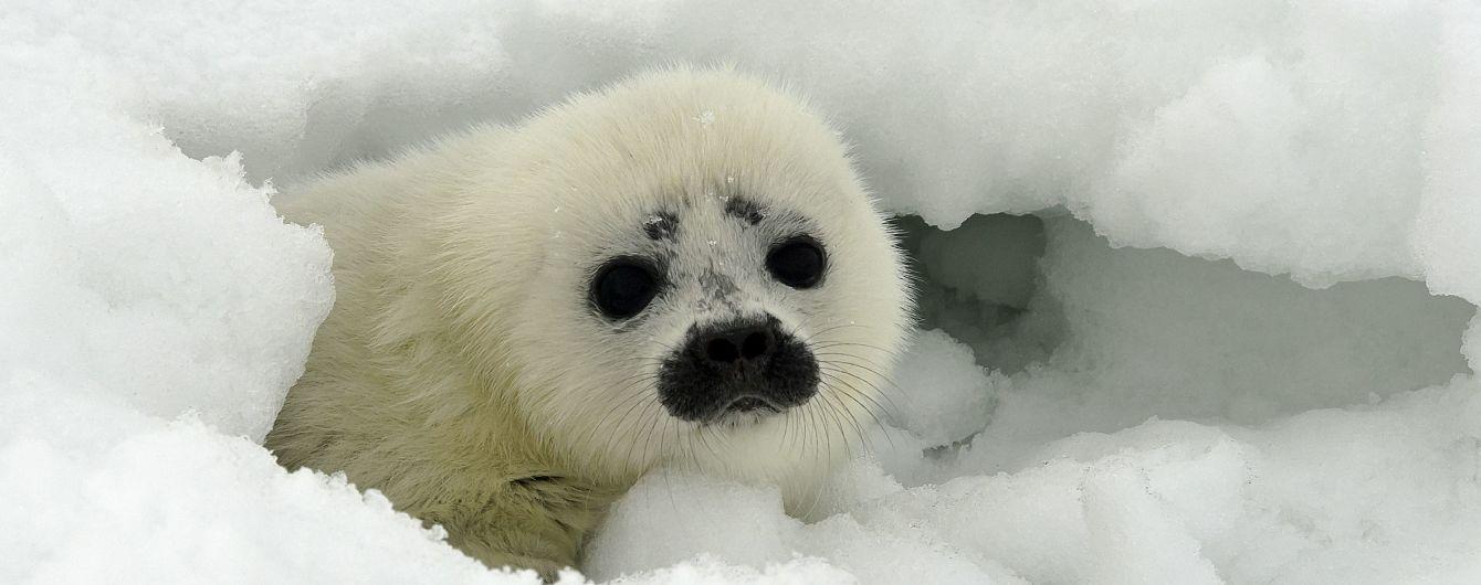 На побережье Аляски выкинуло более полусотни загадочно погибших тюленей