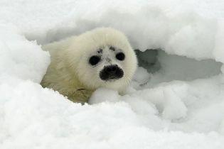 На узбережжя Аляски викинуло понад півсотні загадково загиблих тюленів