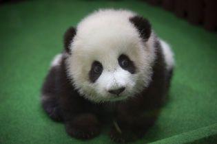 Размером с куриное яйцо: в Китае родилась самая маленькая панда в мире