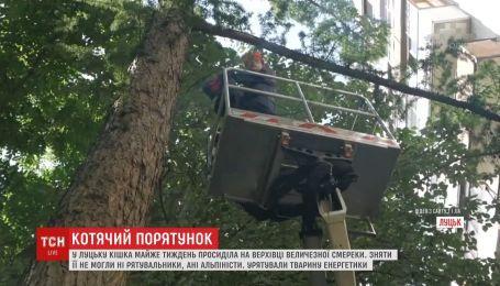 6 дней на дереве: кошку едва сняли с высоченной смереки
