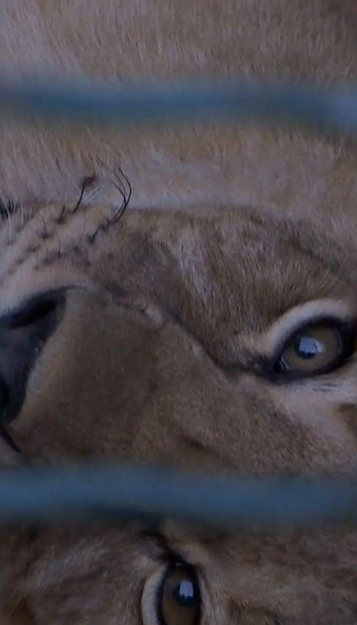 Повернення на батьківщину: леви з Бердянська переїжджають до Африки