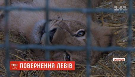 Возвращение на родину: львы из Бердянска переезжают в Африку