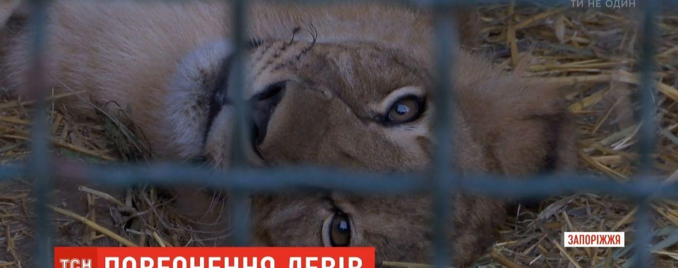 """Бердянський """"Сафарі-парк"""" передав до ПАР п'ятьох левенят для відновлення популяції"""