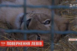 """Бердянский """"Сафари-парк"""" передал в ЮАР пятерых львят для восстановления популяции"""