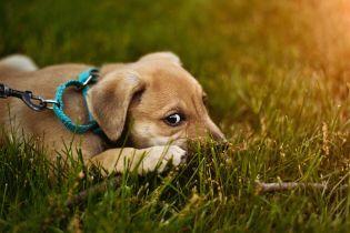 """Чим собаки нагадують дітей та як маніпулюють людьми. Науковці розкрили секрет сумного """"погляду цуценяти"""""""