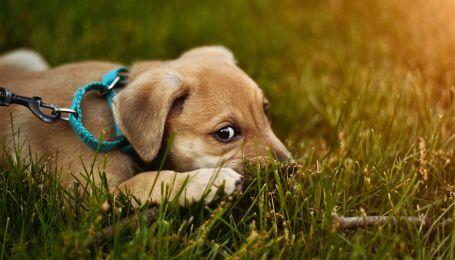 """Як собаки маніпулюють людьми. Науковці розкрили секрет """"погляду цуценяти"""""""