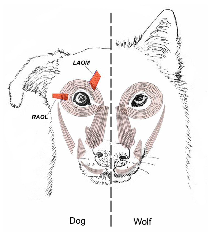 чим собаки відрізняються від вовків