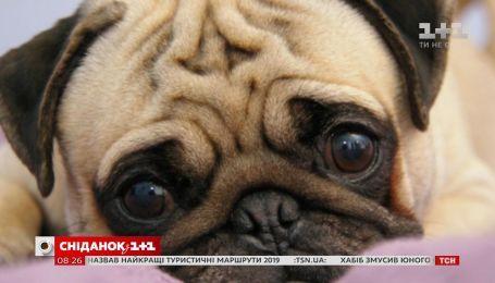 Зворушливий погляд: як собаки маніпулюють своїми господарями