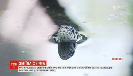 Неотруйних полозів та вужів для гурманів вирощують на першій в Україні зміїній фермі