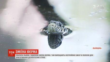 Неядовитых полозов и ужей для гурманов выращивают на первой в Украине змеиной ферме