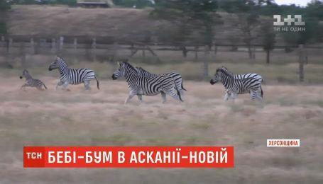 В Аскании-Новой можно увидеть маленьких бизонов и зебр
