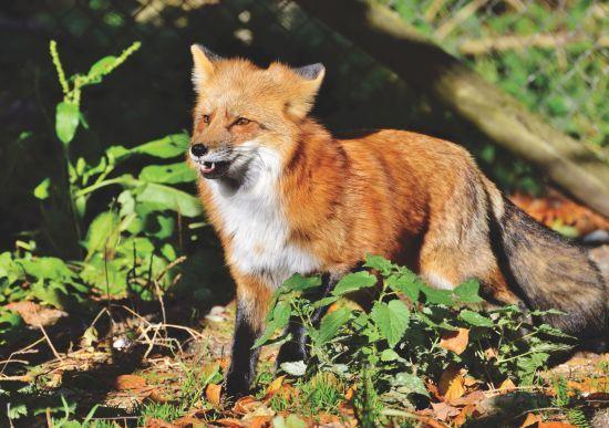 Кішка-лисиця: на Корсиці біологи знайшли новий вид тварин