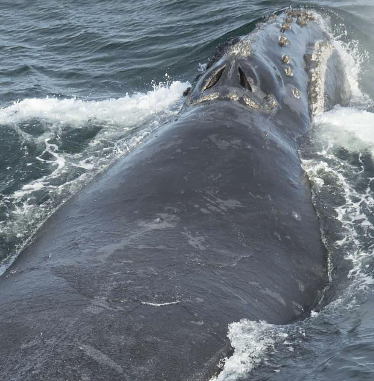 Японський кит