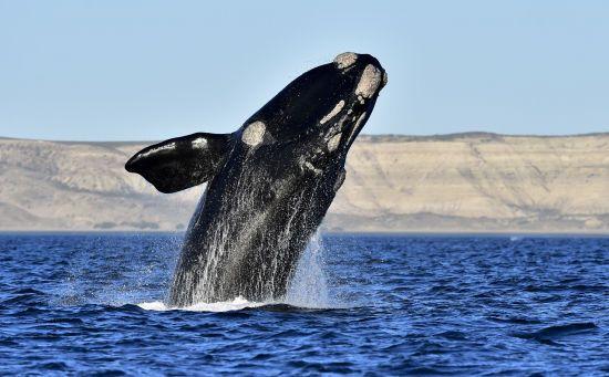 Біологам вперше вдалося записати пісню найрідкісніших у світі китів: як вона звучить і чому насправді сумна