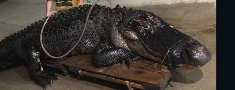 В США гигантский 200-килограммовый аллигатор стал причиной ДТП