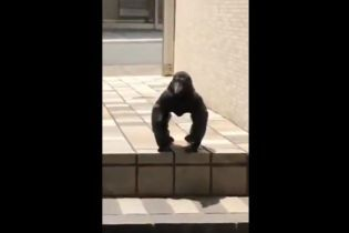 """""""Це горила?"""": Мережу здивувало відео із м'язистою вороною"""