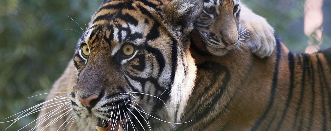 У США вигодовують червонокнижне тигреня