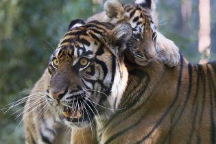 В США выкармливают краснокнижного тигренка