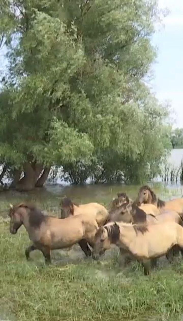 В дельте Дуная поселили табун диких лошадей из Латвии для спасения экосистемы