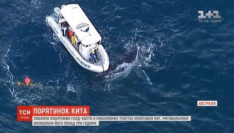 Вблизи побережья Голд-Коста спасли кита, запутавшегося в рыболовных сетях