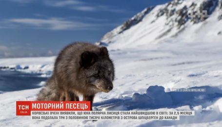 Лисиця-мандрівниця: норвезькі вчені виявили найшвидшого у світі песця