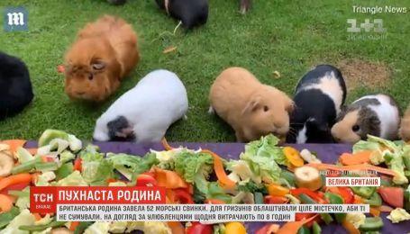 Супруги ухаживают за 52 морскими свинками в Великобритании