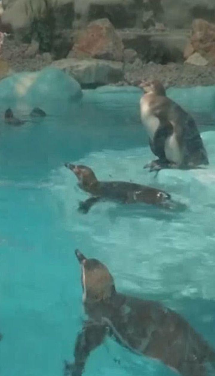 Охолоджувальний басейн від спеки спорудилидля пінгвінів у Сербії