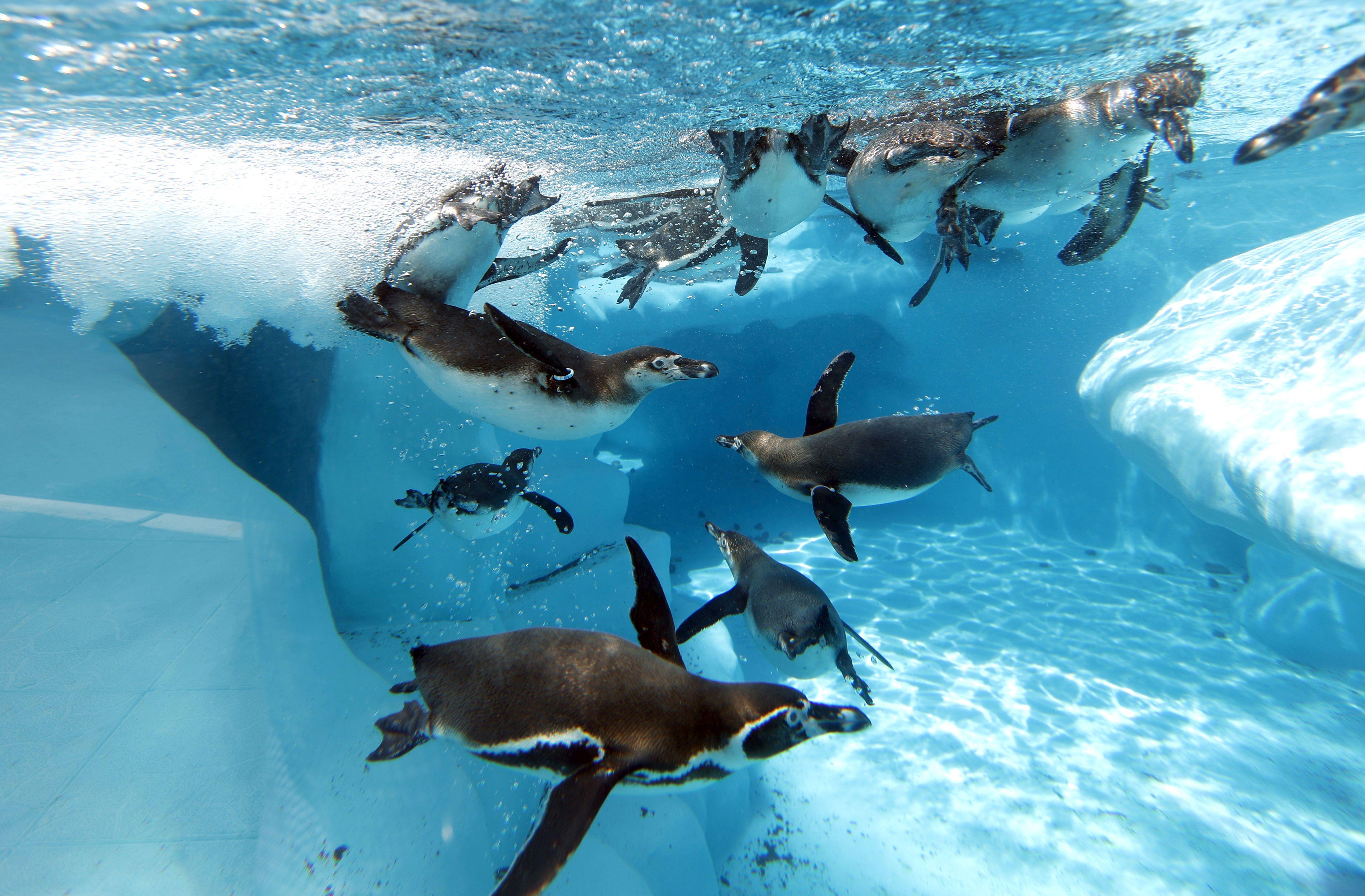 пінгвіни у басейні в сербії