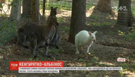 Кенгуренок-альбинос наконец-то начал появляться перед посетителями харьковского экопарка