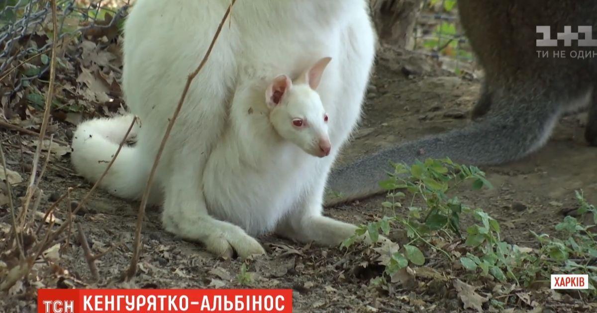 В екопарку Харкова з маминої сумки визирнуло кенгуренятко-альбінос