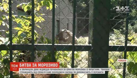 В румынском зоопарке двое медведей подрались за кусок мороженого