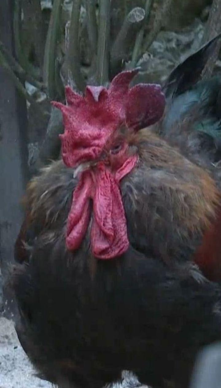 На владелицу петуха подали в суд из-за громкого кукареканья птицы по утрам