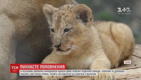 В чешском зоопарке родились двое львят редкой породы