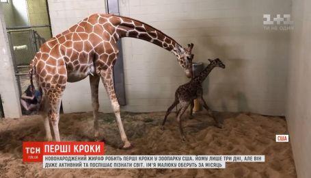 Новорожденный жираф начинает свое знакомство с миром в зоопарке штата Колорадо
