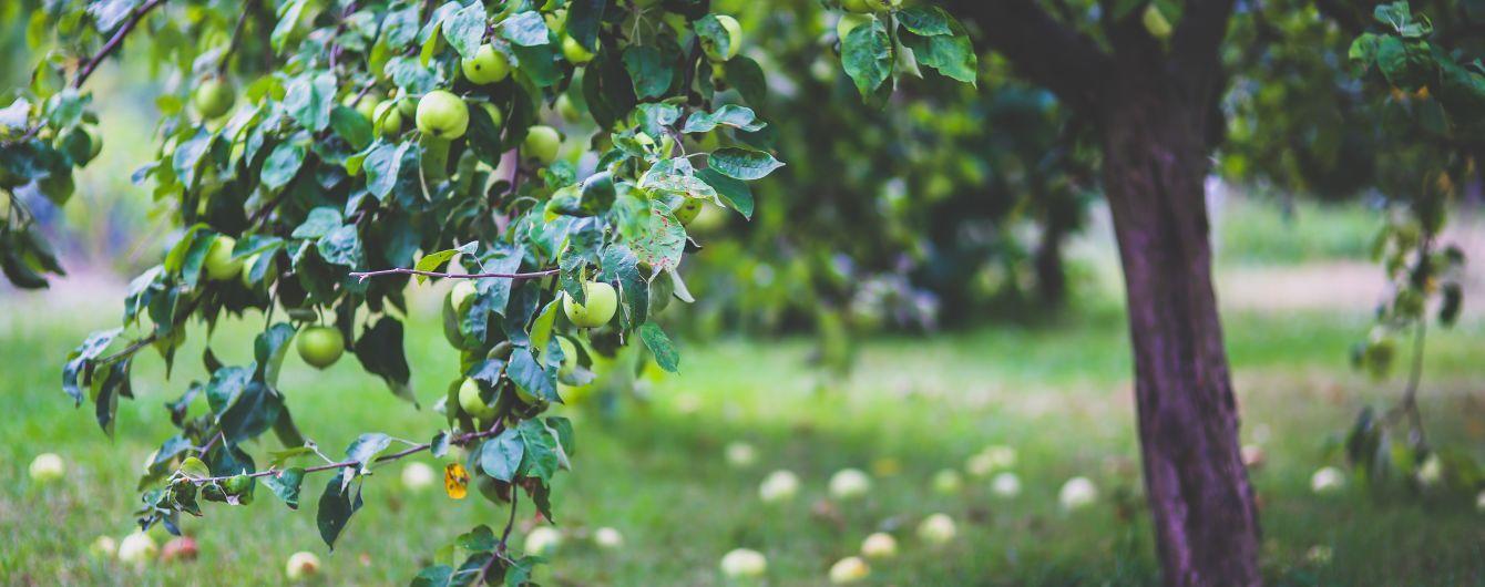 Урожай яблок в Украине может сократиться на треть