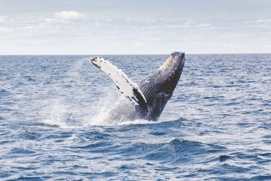 У Шотландії створили маршрут для спостереження за китами