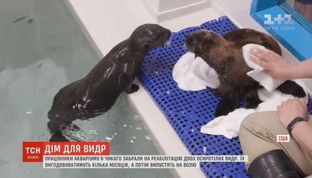 В Чикаго работники аквариума выхаживают двух осиротевших выдр